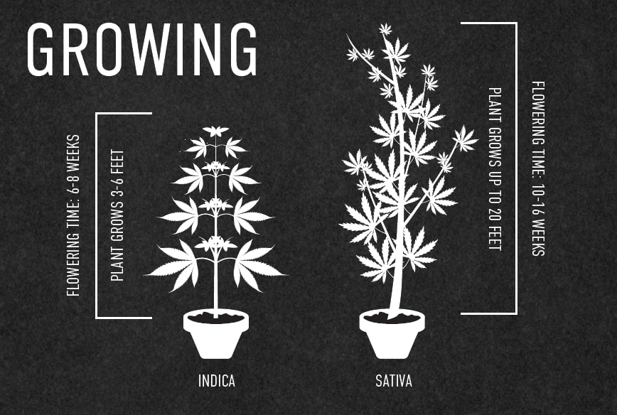 indica-vs-sativa-growth-cycle